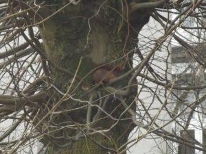 Hier sitzt es auf einem Baum und genießt die Aussicht - das kleine Eichhörnchen.