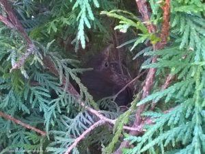 2015 - Eine Amsel hat ihr Nest in der Hecke gebaut und brütet hier ihren Nachwuchs aus.