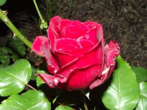 Die Rose bei Nacht / 2015
